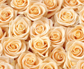 Каталог Фотообои на стену Розы купить