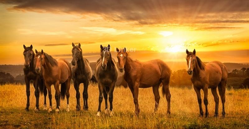 "Фотообои ""Поле. Лошади. Восход"""