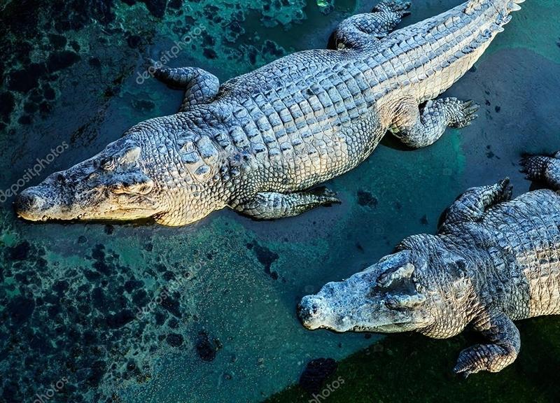 """Линолеум с рисунком """"Крокодилы"""" купить"""