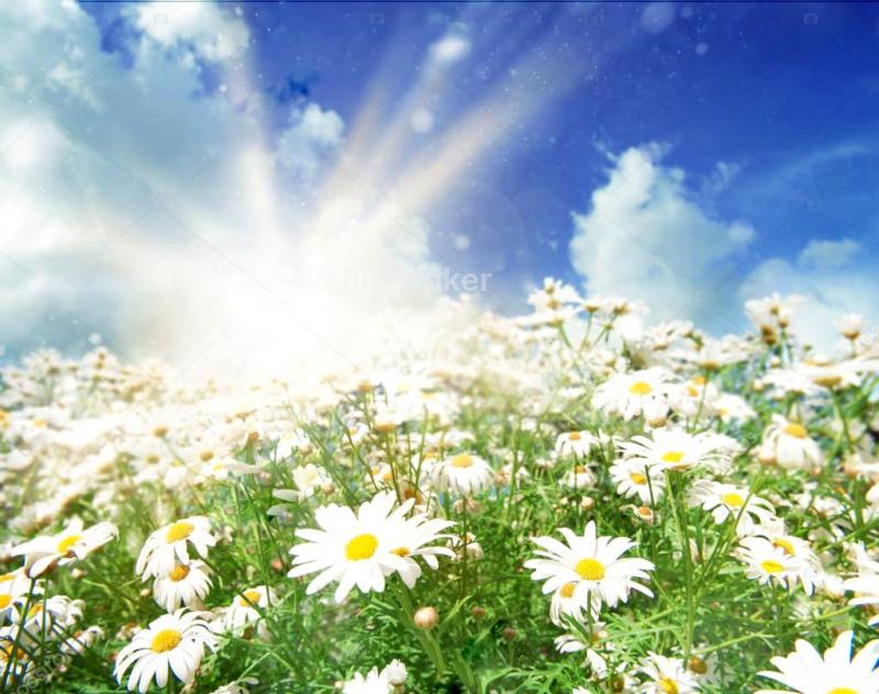 """Фотообои купить """"Поле ромашек, яркое солнце, небо"""""""