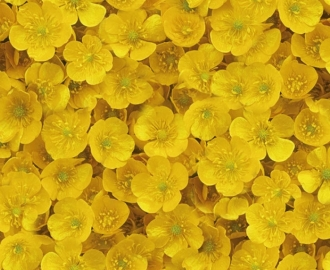 """Линолеум с рисунком """"Желтый пол, лютики"""" купить"""