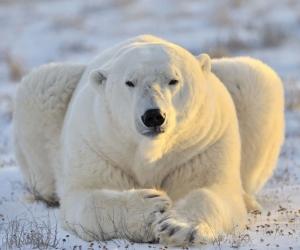 """Плитка с фотопечатью в ванную""""Белый медведь, солнце, снег"""""""