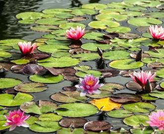 """Линолеум с рисунком """"Кувшинки, листья, вода""""  купить"""