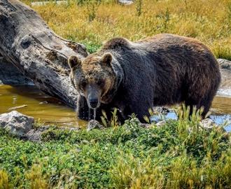 """Фотообои """"Бурый медведь. Природа"""""""