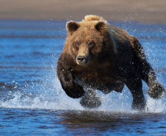 "Фотообои ""Бурый медведь бежит"""
