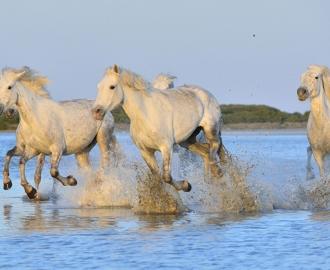 """Фотообои """"Белые лошади бегут по воде"""""""