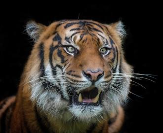"""Фотообои купить """"Тигр на черном фоне"""""""