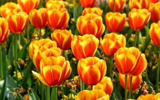 """Фотообои купить """"Поле оранжевых тюльпанов, крупный план"""""""