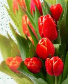 """Фотообои купить """"Красные тюльпаны, капельки воды"""""""